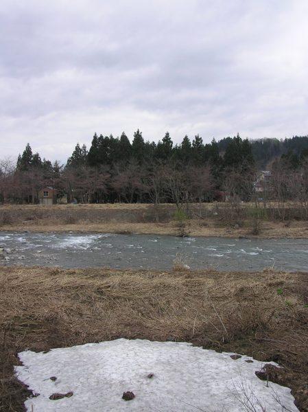 水無川の土手で桜のつぼみが開き始めました