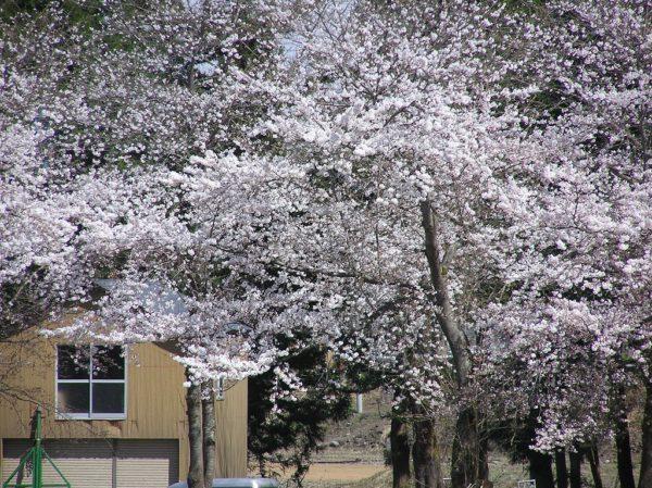 水無川の土手の桜が見頃になっています