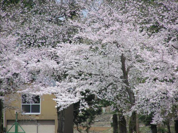 水無川の土手の桜