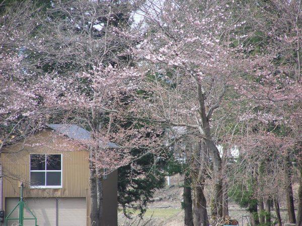 水無川の土手の桜が咲き始めています