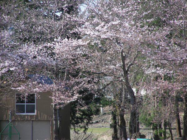 水無川の土手の桜はもうすぐ見頃を迎えます