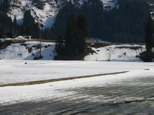 雪解けがいっきに進む田んぼ