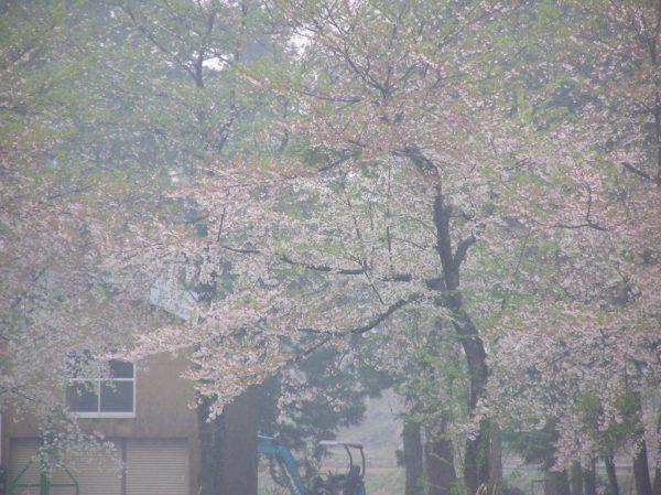 水無川の土手の桜は葉桜になってきました